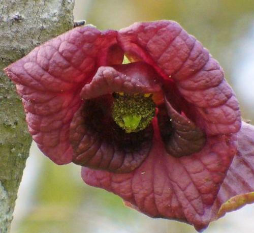 Zupe�nie dojrza�e kwiaty s� czerwonofioletowe
