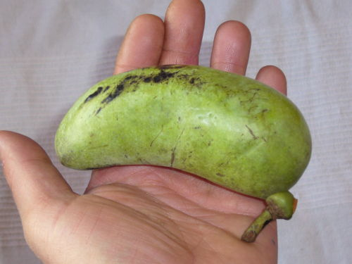Owoc urodlinu