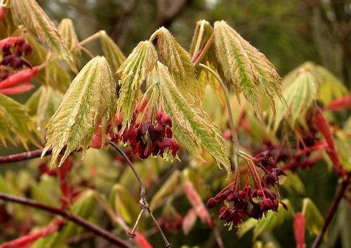 Klon japo�ski - rozwijaj�ce si� li�cie i kwiatki