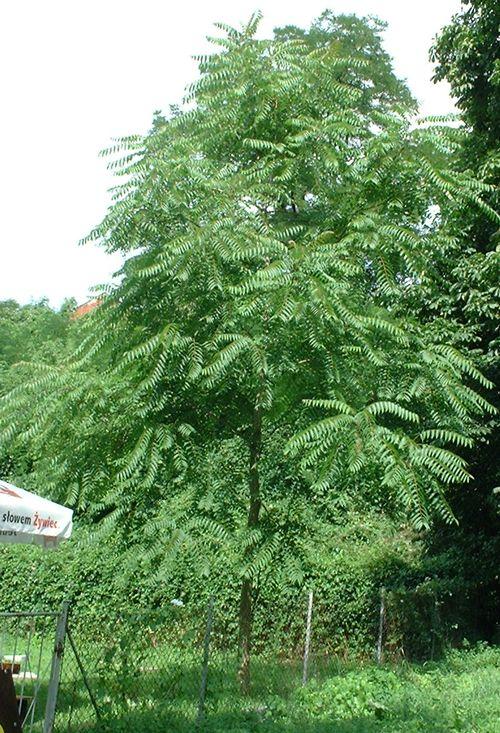 Bożodrzew, 7-letnie drzewko
