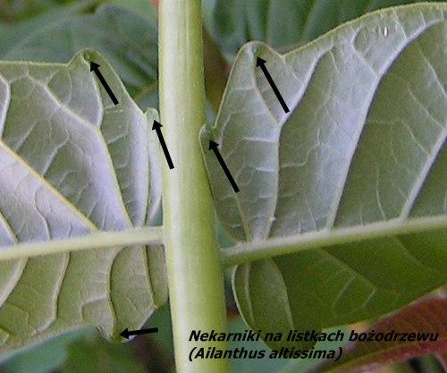 Bożodrzew - nektarniki na listkach