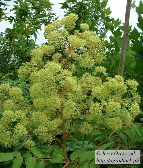 Kwiatostan aralii chińskiej może mieć pół metra wysokości