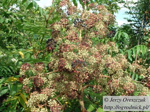 Niedojrzałe owoce aralii chińskiej