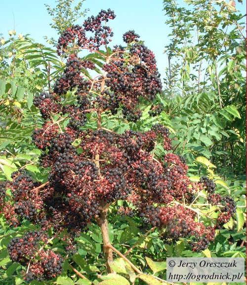 Dojrzewające owoce aralii chińskiej, początek października