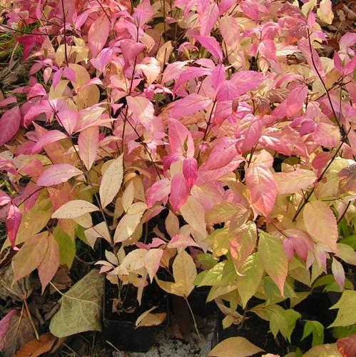 Pięknotka japońska - na słonecznych stanowiskach liście mogą być również różowe i fioletowe.