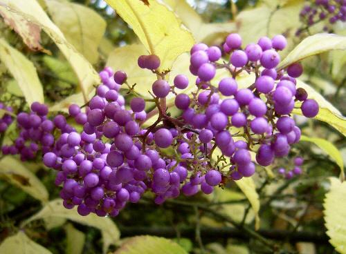 Październik - fioletowe owoce na tle żółtych liści.