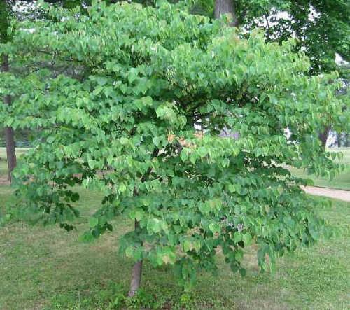 Judaszowiec kanadyjski, około 15-letnie drzewko