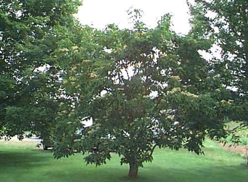 Ewodia koreańska - często drzewko z krótkim pniem.