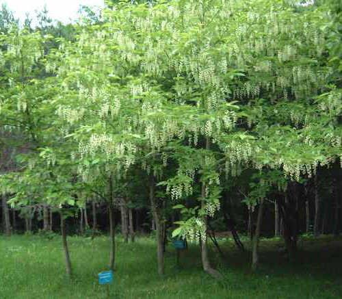 Styrakowiec japo�ski w pe�ni kwitnienia.