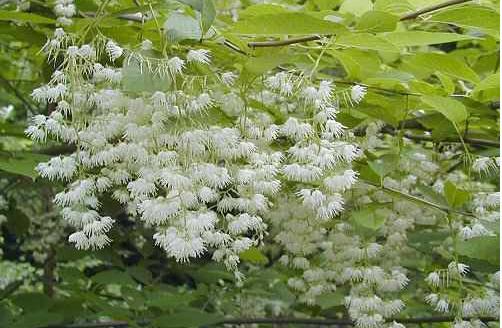 Zwisaj�ce kwiatostany maj� d0 25 cm. d�ugo�ci.