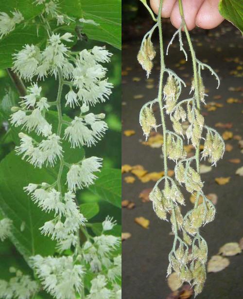 Styrakowiec japo�ski - kwiatki i owoce (r�wnie� w Polsce wytwarza dobre nasiona).